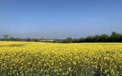 Gelb sind alle meine Felder – Rapsblütenzeit an der Schlei